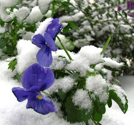 ice_pansy_crop_430